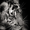 animal portraits bw  14©