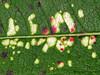 Fireweed leaf