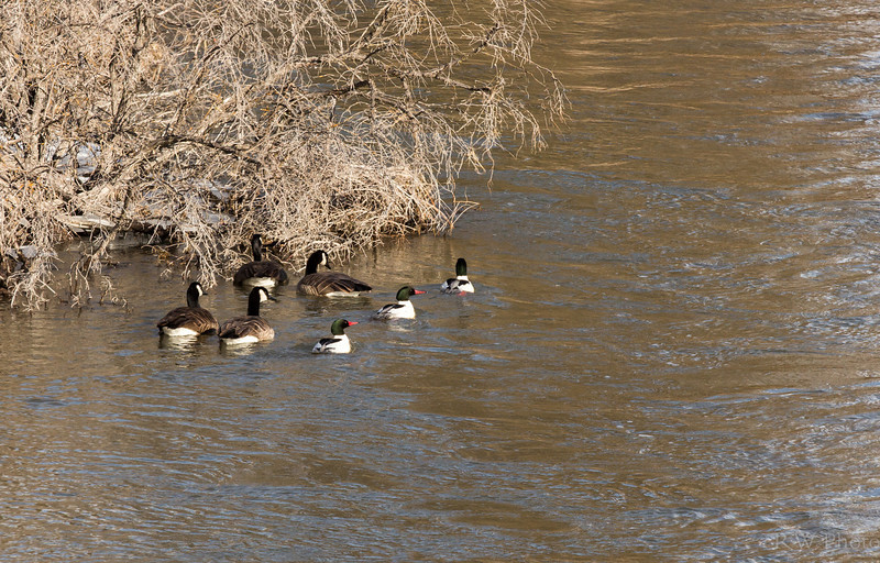 Canada geese and common mergansers