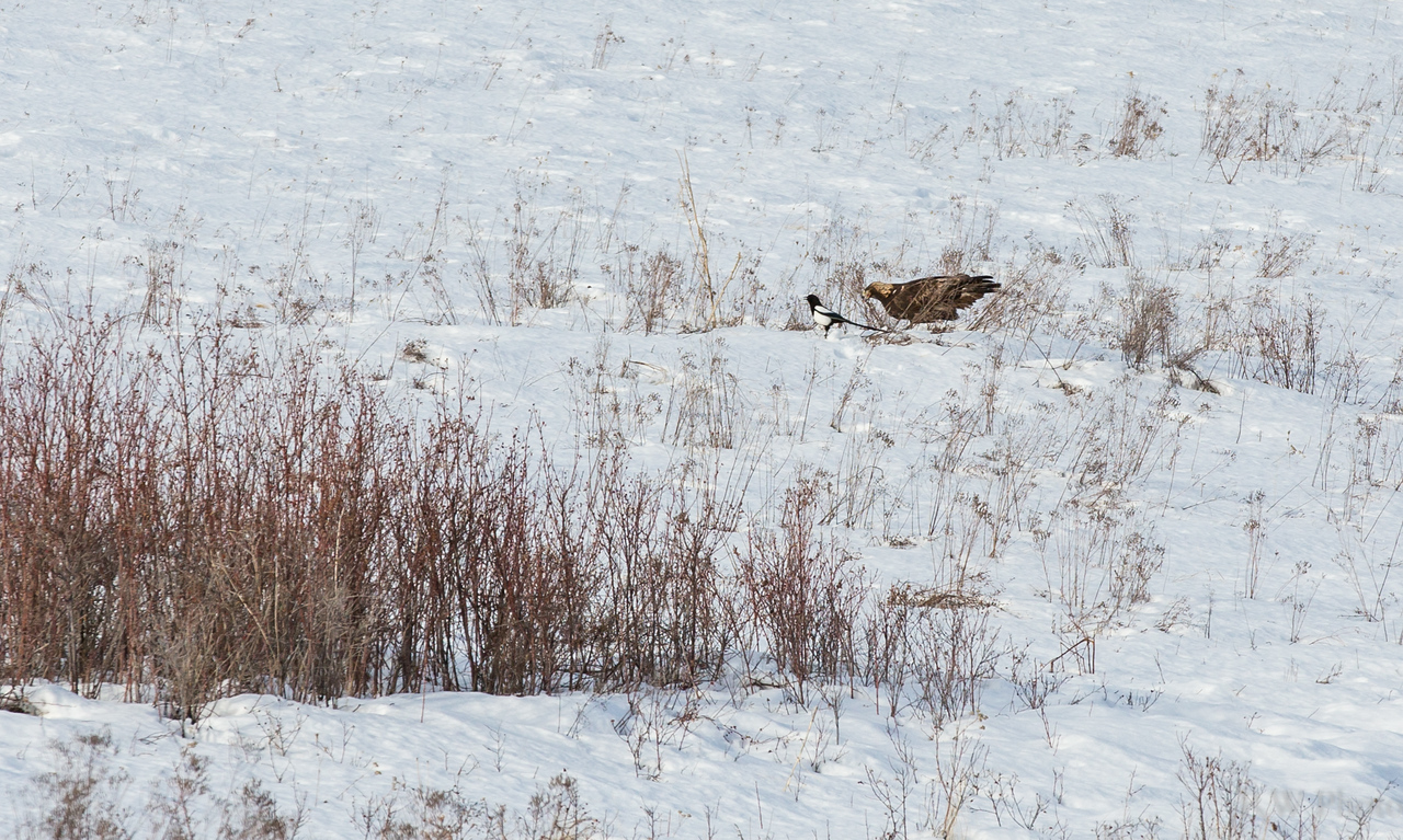 Golden eagle from 2/12/14