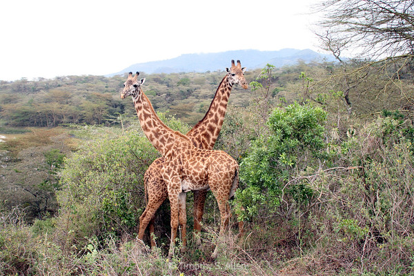 Two Giraffes Cross Necks in a Protective Gesture