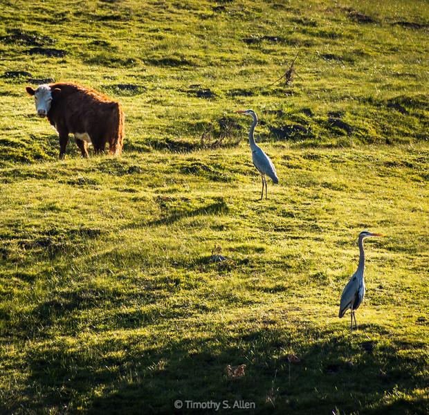Cow, Bird, Bird