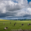 Cows Under an Unsettled Sky