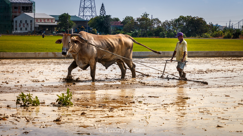 Oxen Used to Plow a Rice Field