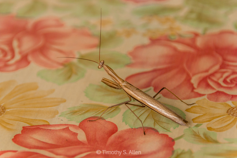 Golden Preying Mantis
