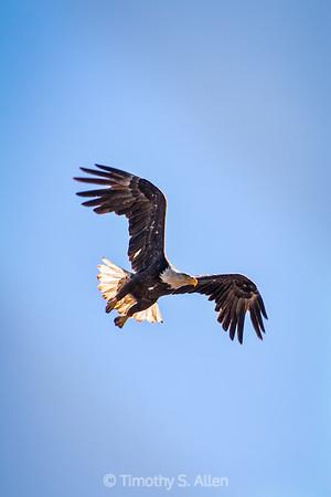 A Bald Eagle in Flight