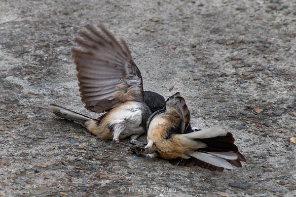 Two Oriental Magpie Robin Fighting