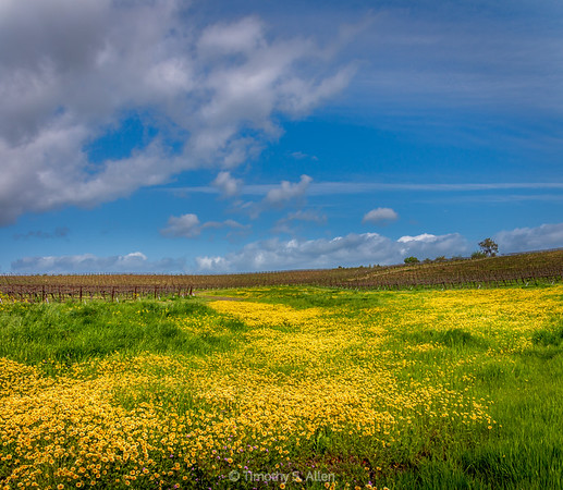 Yellow Field of Flowers