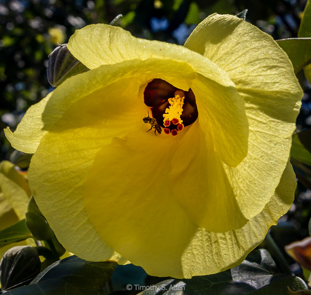 Cottonwood Hibiscus