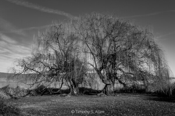 Weeping Willows Ending Winter in Black and White