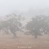 Two Oaks in Fog