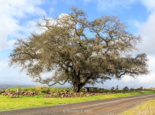 California Live Oak Tree