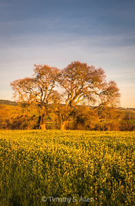 Oaks and Mustard