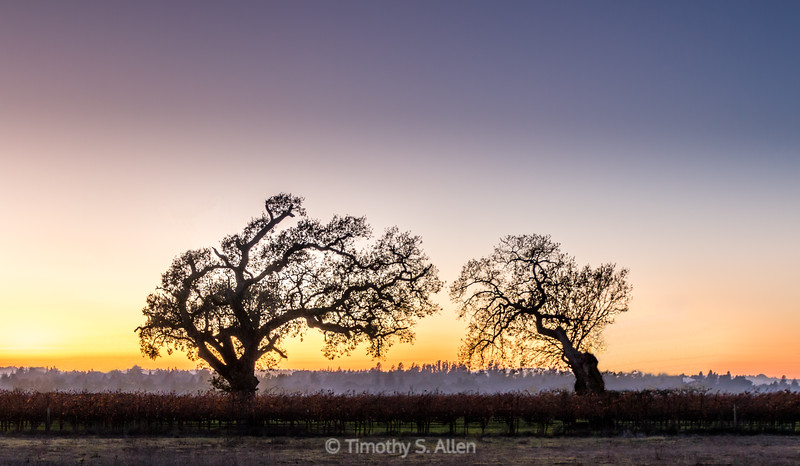 Two Oaks at Sunset