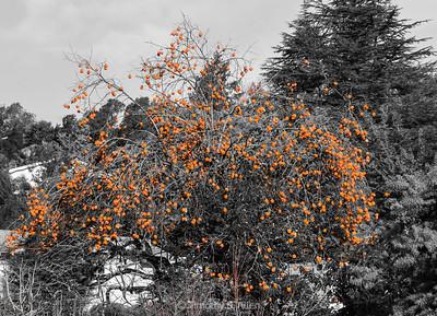 Persimmon Tree in Winter