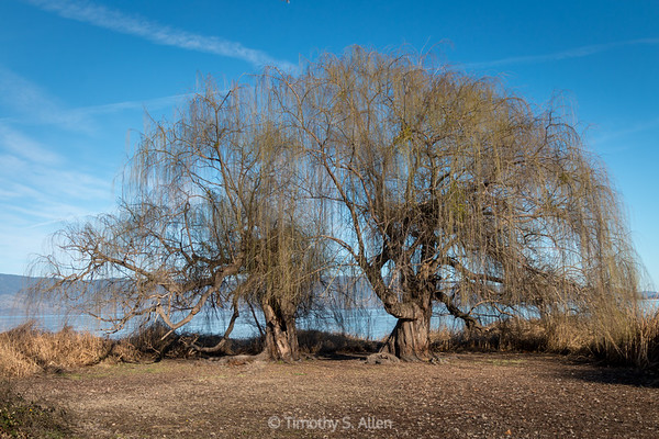 Weeping Willows Ending Winter