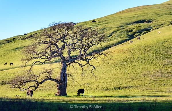 Grazing in the Shadow of an Oak Tree