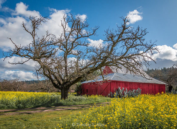 Oak, Barn and Mustard
