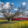 Oak, Barn and Mustard