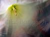 White Amaryllis, IMG_9680
