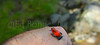 Strawberry Poison-Dart Frog , IMG5364