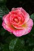 Pink Rose, IMG_8179