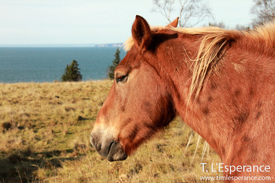 Horses overlooking the Bay of Fundy and Cape D'Or, near Halls Harbour, NS.