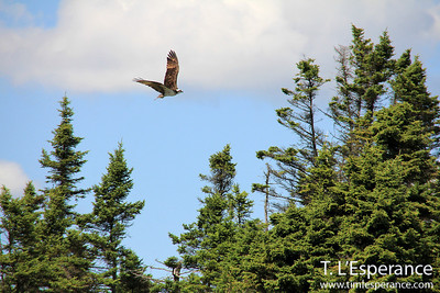 Osprey near Rogues Roost, Nova Scotia.