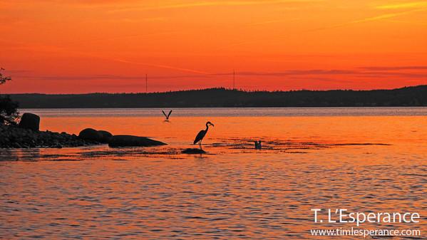 Blue Heron capturing his prize.