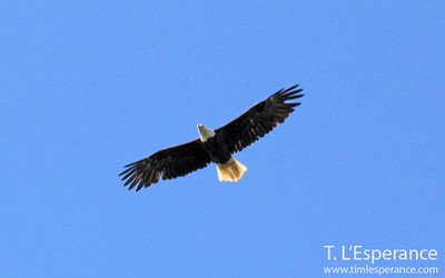 A bald eagle soars above.