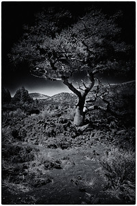 sunsetcratertree3_bw