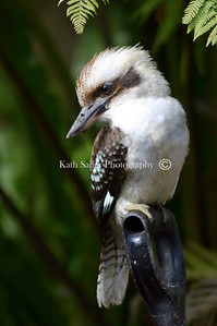 Kookaburra - Sydney perched on a spade
