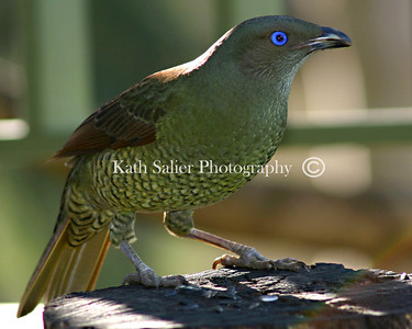 Green Cat Bird - Australia