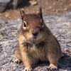 Ground Squirrel  Mt Rainier