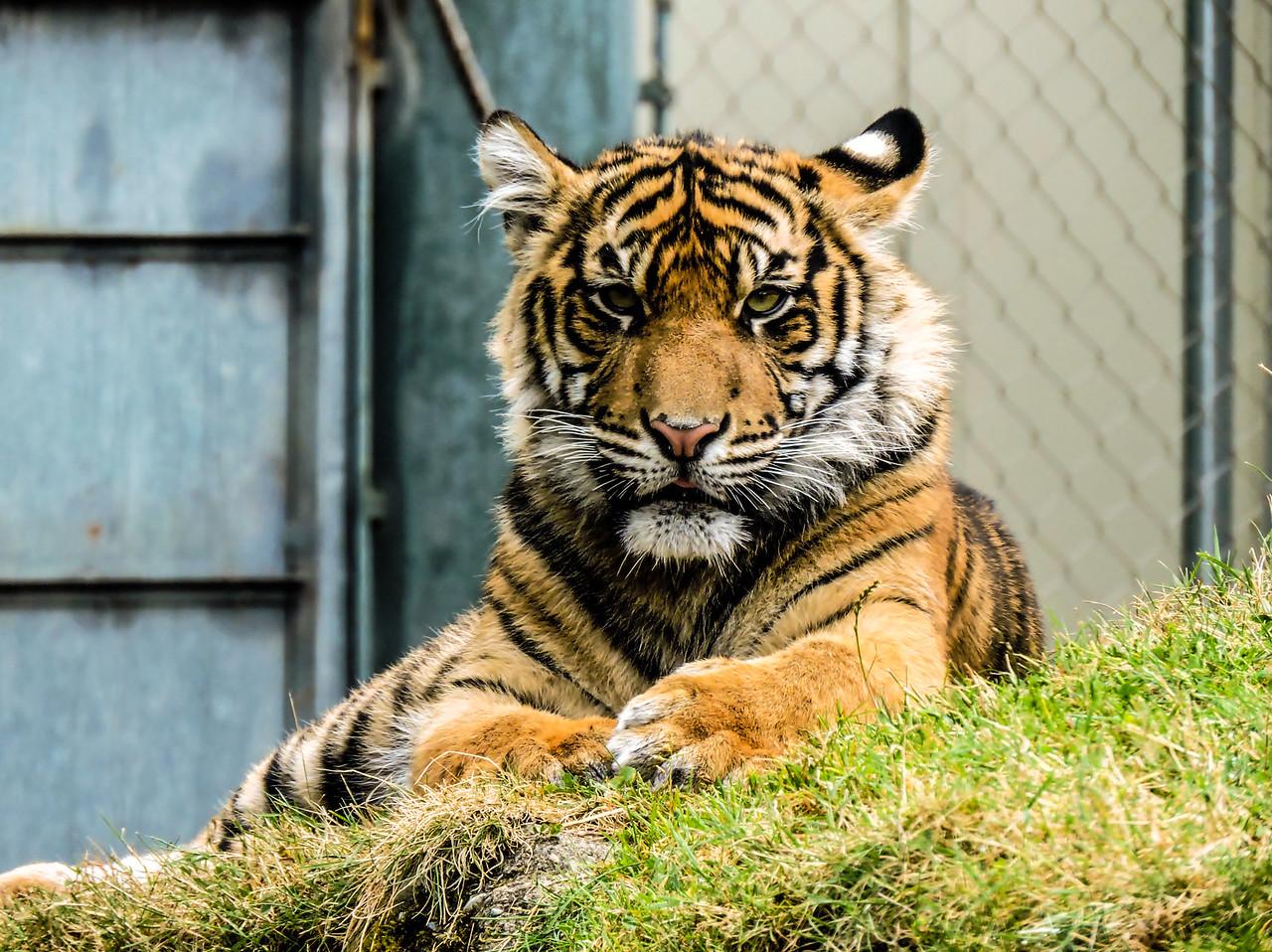 Malosi- Tiger