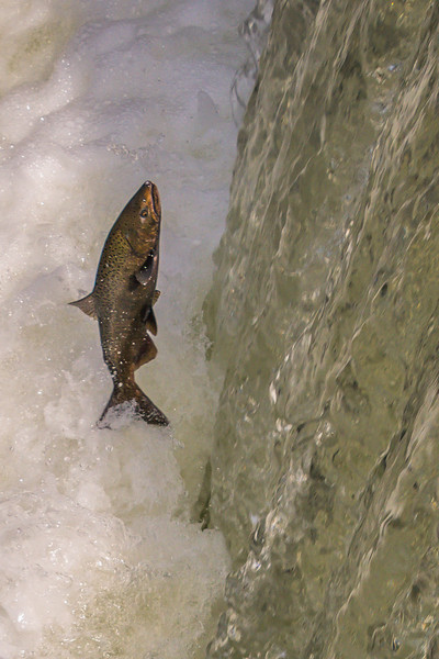 Salmon Going up Tumwater Falls