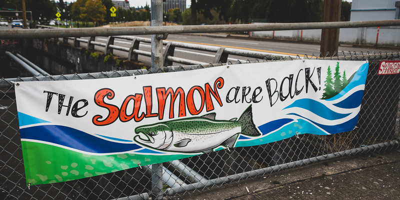 Salmon are Back!