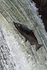 Salmon Jumping Tumwater Falls