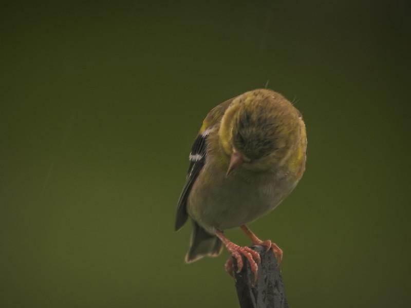 Gold Finch  Stop the Rain