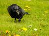 Crow closeup