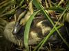Duckling  Capitol Lake
