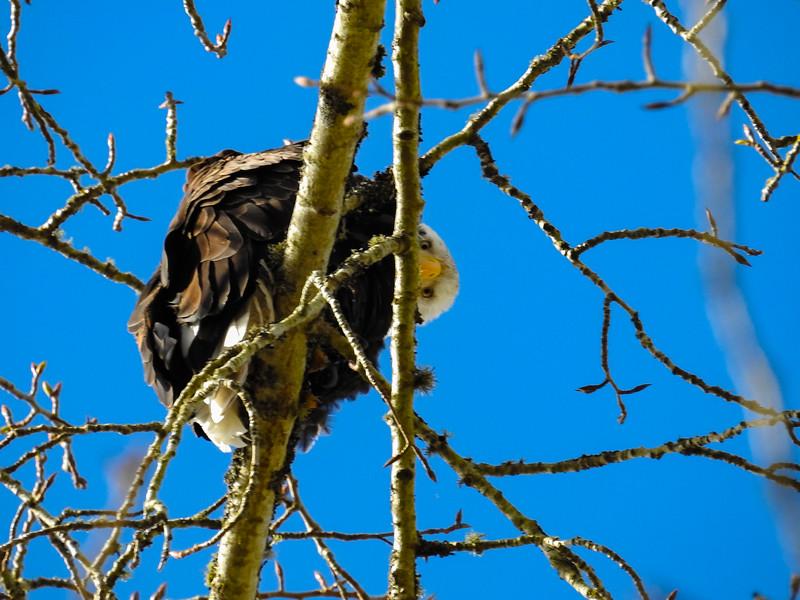 Nisqually Wildlife Eagle