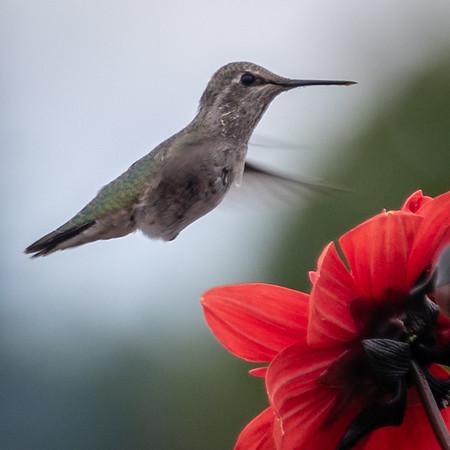 Hummingbird Calendar