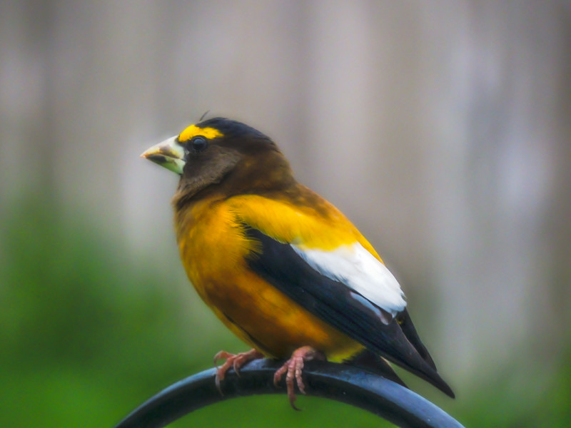 Evening Grosbeak (2)