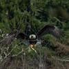 Mud Bay Eagle