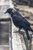 Crow  Budd Bay