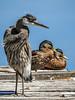 Heron and Ducks