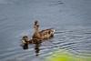 Duckling & Momma