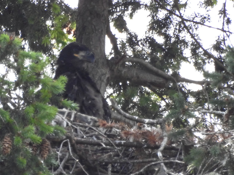 Juvenile Eagles