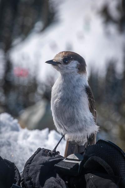 Grey Jay at Crystal Mountain  - March 2019